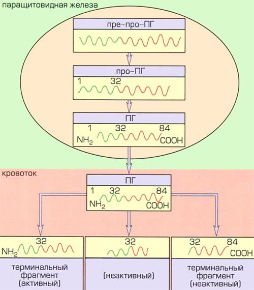 Метаболизм паратгормона