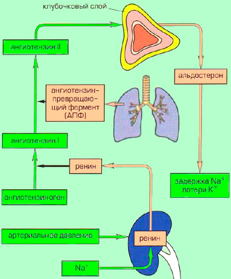 Ренин-ангиотензин-альдостероновая система (РААС)