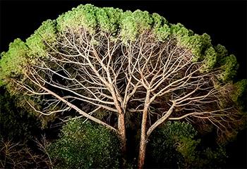 Пикногенол из коры приморских сосен