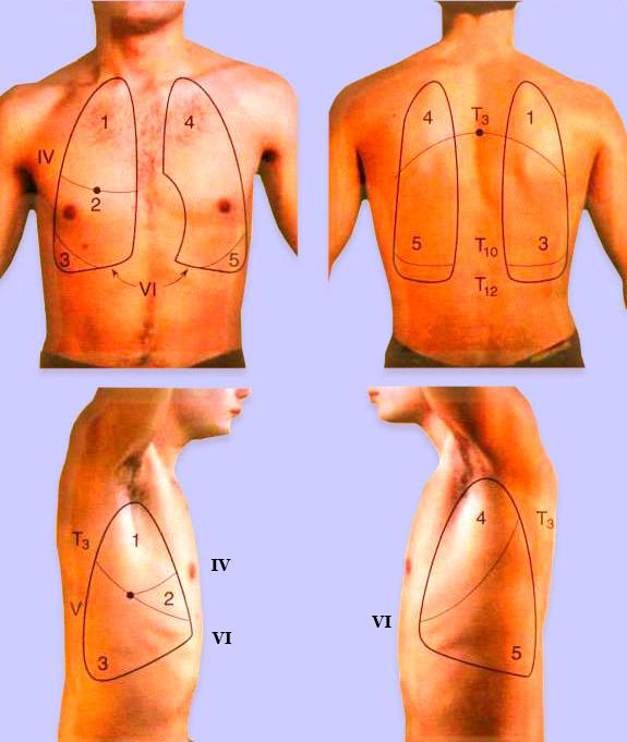 Проекция долей легких на грудной клетке
