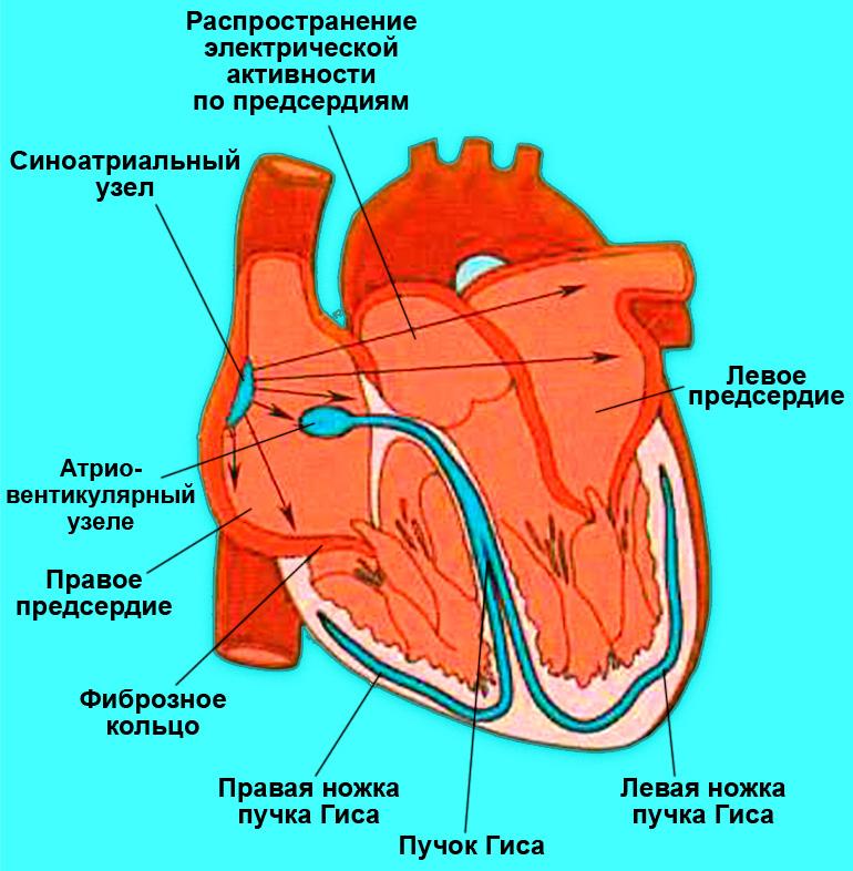 Автономная проводящая система сердца