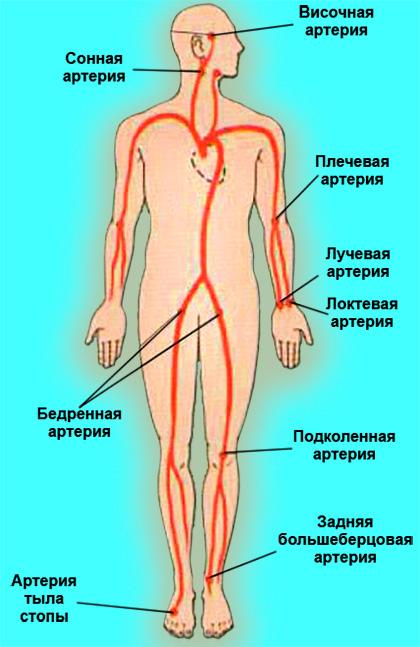 Места пальпации крупных артерий