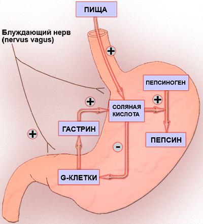 Регуляция секреции в желудке