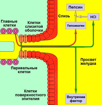 Желудочная секреция