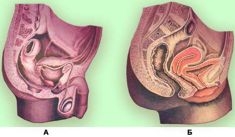 Анатомия таза
