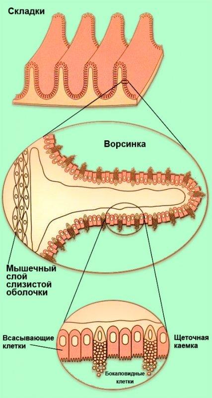 Складки Керкринга (поперечное сечение) и ворсинки тонкой кишки