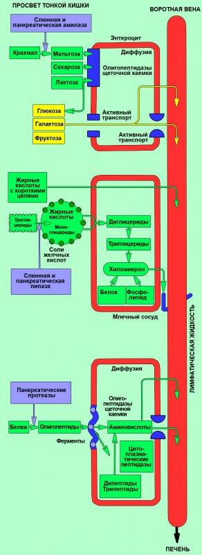 Переваривание и всасывание белков, жиров и углеводов