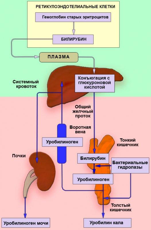 Циркуляция билирубина