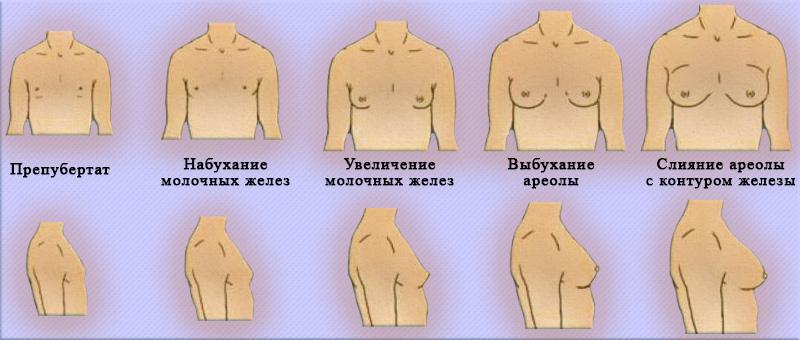 Стадии полового развития у девочек