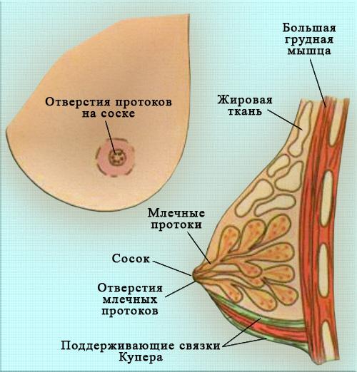 Молочная железа
