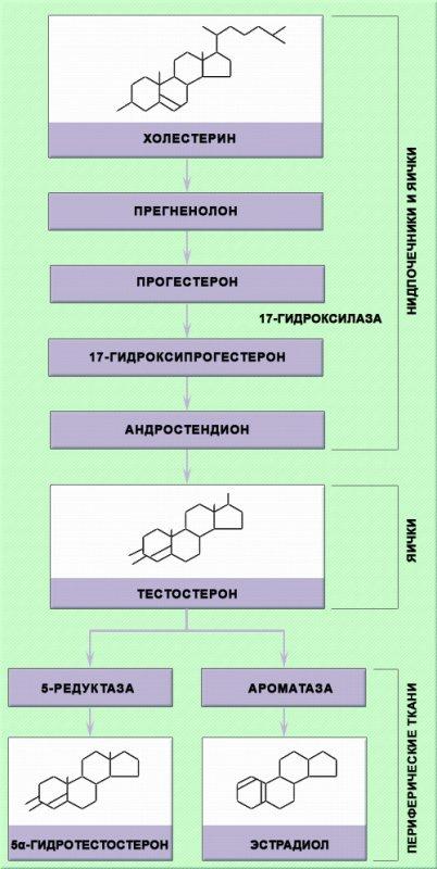 Синтез тестостерона