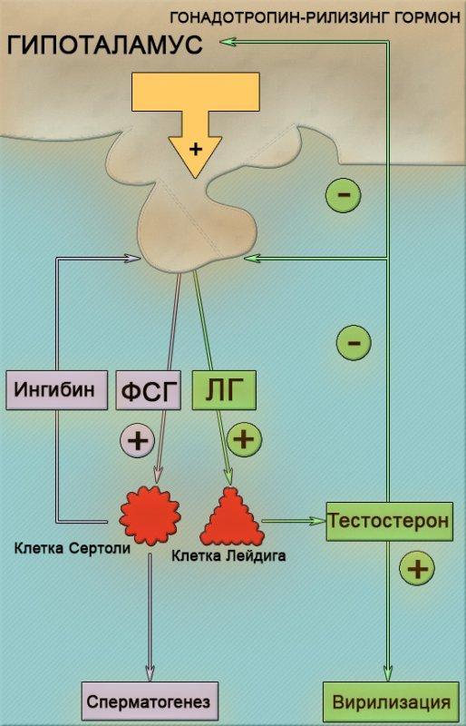 Гипоталамо-гипофизарно-гонадальная система
