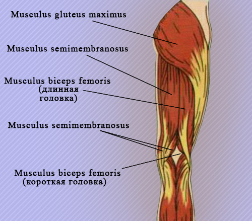 Мышцы, образующие подколенную ямку