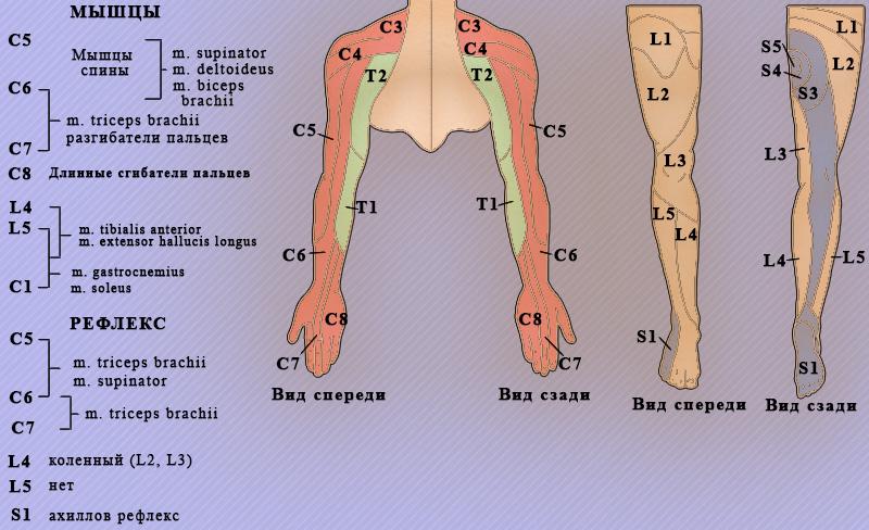 Корешковые синдромы