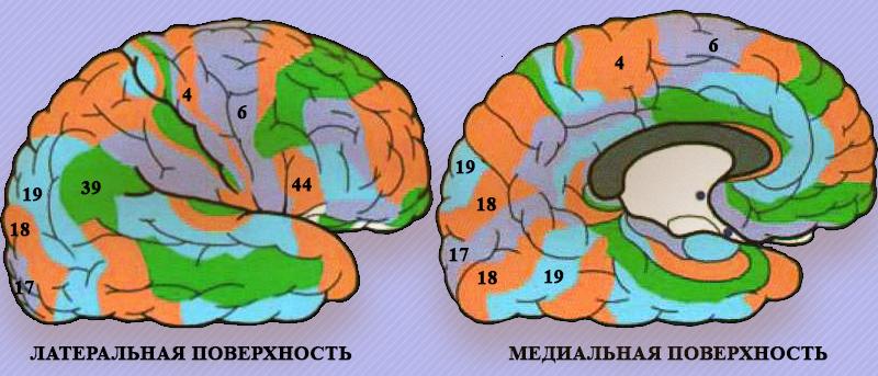 Поверхности полушария головного мозга