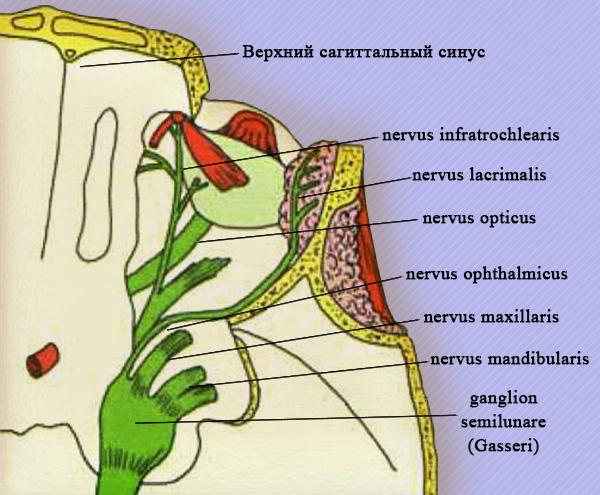 Зоны иннервации ветвей тройничного нерва