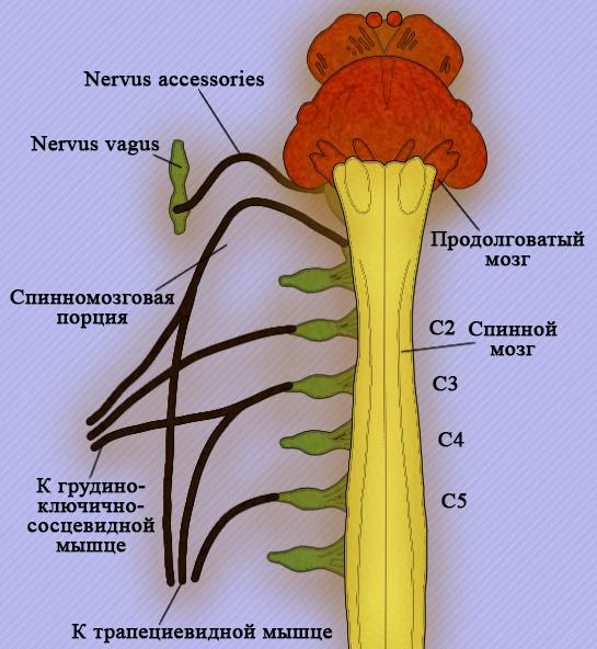 Добавочный нерв