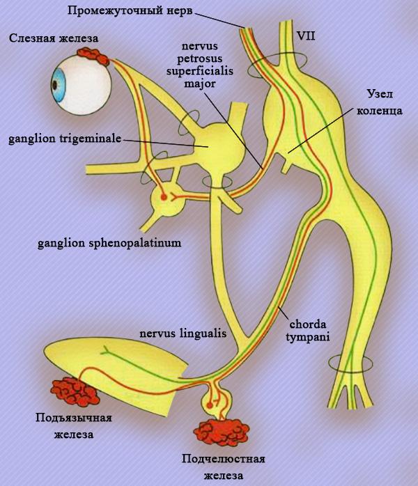 VII пара черепно-мозговых нервов