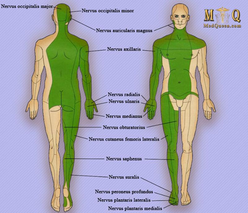 Зоны чувствительности иннервации периферических нервов