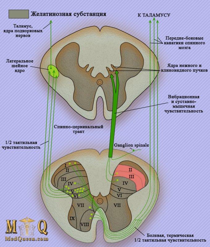 Чувствительные (восходящие) тракты спинного мозга