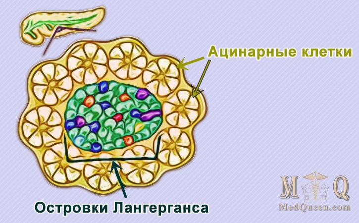 Поджелудочная железа (pancreas)