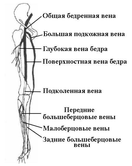 Венозная система нижних конечностей