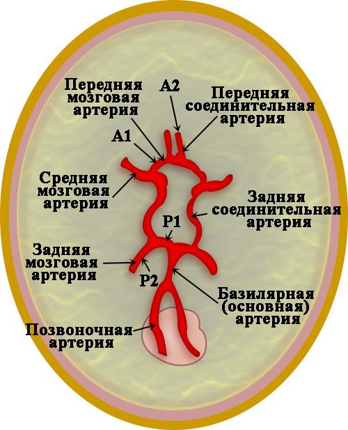 Внутричерепные артерии